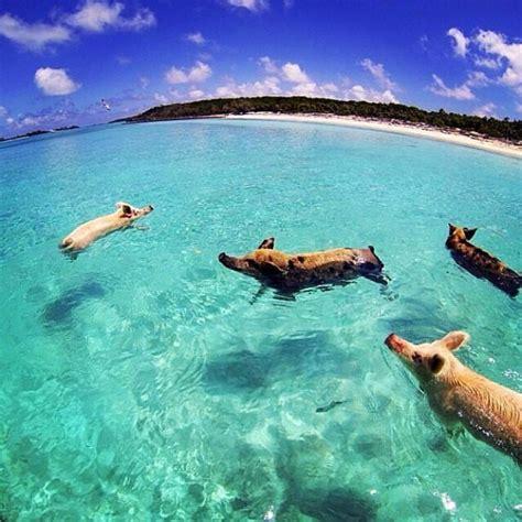 bahama swimming pigs pay  price  drunken tourism