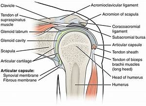 This Figure Shows The Structure Of The Shoulder Joint  The