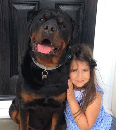17 best ideas about rottweilers on rottweiler