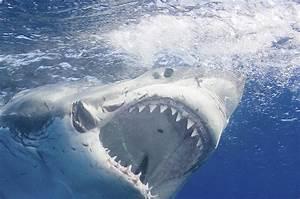 Great White Shark Attack  13