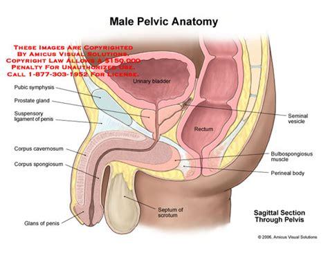 uti shipping pelvic anatomy