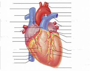 External Anterior Heart Labeling