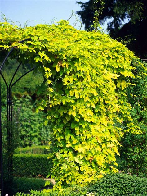 15 Climbing Vines For Lattice, Trellis Or Pergola Simple
