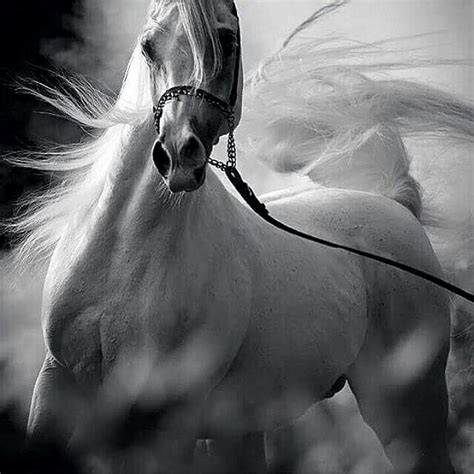 286 Best Images About Arabian Horses On Pinterest