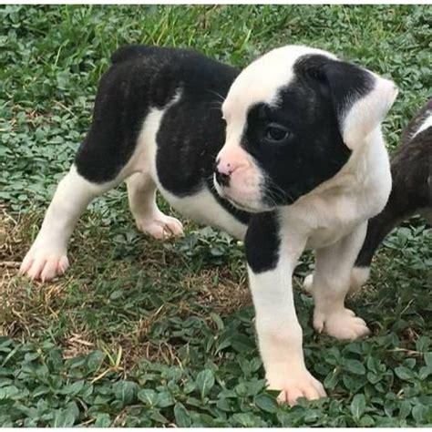 blue ribbon olde english bulldog puppies  sale