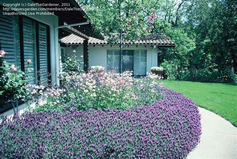 does lavender grow in florida tropical zone gardening growing lavender in tropical zone need suggestion thanks 1 by
