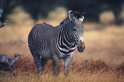 Zebra Wallpapers Theme Rare Animal Desktop Animals