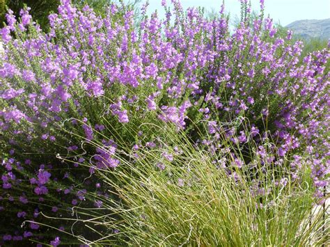 hedge plant with purple flowers is purple texas sage edible eating a texas ranger plant tjs garden