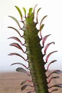 Euphorbia Trigona Vermehren : cactus euphorbia trigona id e cadeau qu bec ~ Orissabook.com Haus und Dekorationen