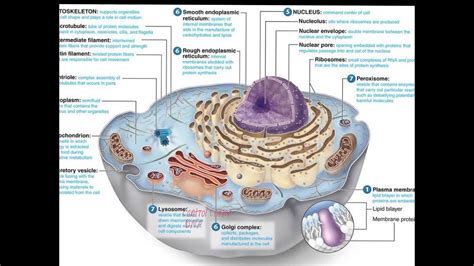 cell organelles nucleus youtube