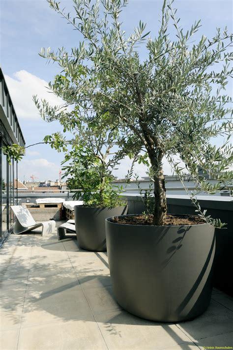 soigner un olivier en pot schweizer versand baumschule