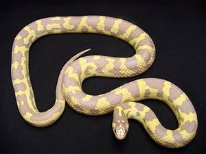 Kingsnakes on Pinterest | Snakes, California and Scarlet