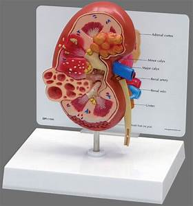 Kidneys Human Diagram