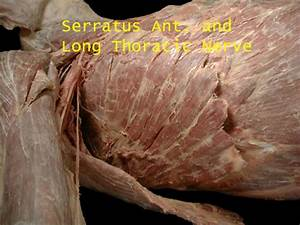 Serratus Anterior (Cadaver Dissection) - http://www.med ...
