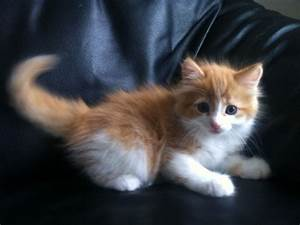 cute fluffy ginger and white kitten Quotes