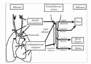 Cardiopulmonary And Arterial Baroreflex Neural Pathways
