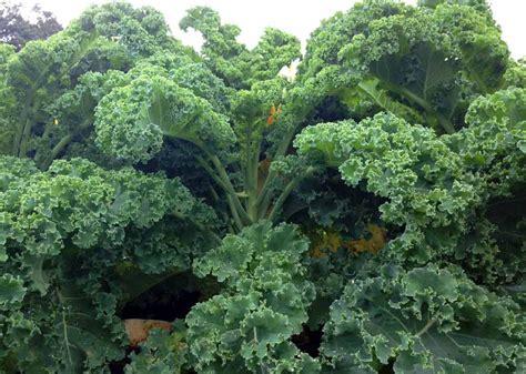 meine ernte gruenkohl anbauen pflegen ernten und lagern