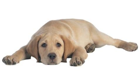 dog upset stomach symptoms  pets central