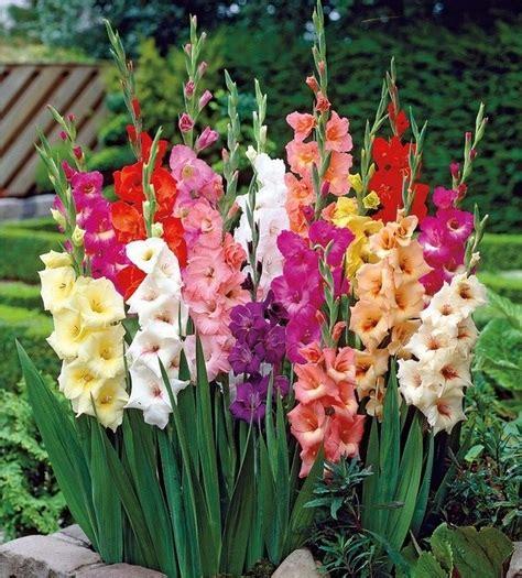 merawat bunga gladiol  cepat berbunga