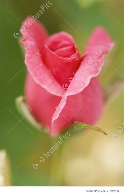 flowers rose button stock image   featurepics