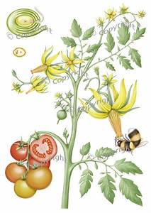 Tomato Plant Life Cycle Illustration Inspiration