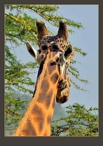 Thankyou Note Rothschild 39 S Giraffe Bull Giraffa Camelopardalis