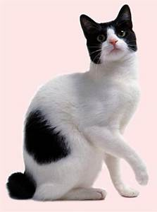 15 Awesome Black And White Japanese Bobtail Cat Photos And ...
