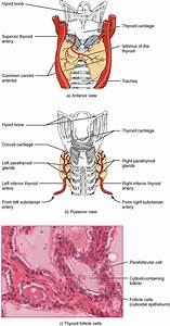 17 4 The Thyroid Gland  U2013 Anatomy And Physiology