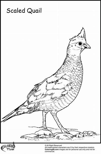 Quail Coloring Pages Bird Preschool Title Scaled