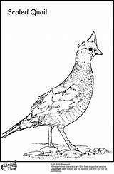 Quail Coloring Pages Preschool Bird Title Scaled Kindergarten Egg Ministerofbeans Read Results sketch template
