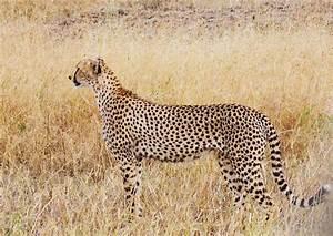 Acinonyx  Cheetahs