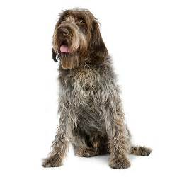 wirehaired pointing griffon see description and pictures