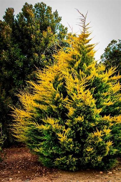 Cypress Leyland Gold Rider Trees Evergreen Plants