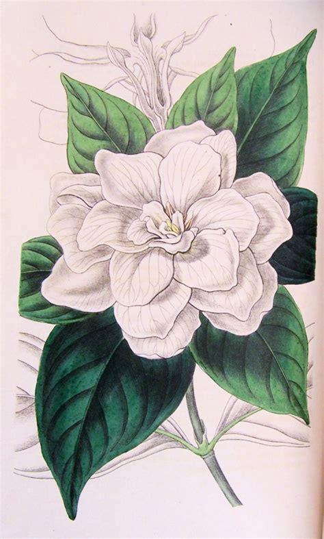 Gardenia Drawing by Hortus Camdenensis Gardenia Augusta L Merrill Var