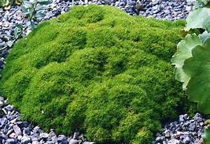 Plante Pour Jardin Japonais : scleranthus uniflorus planter et entretenir ooreka ~ Dode.kayakingforconservation.com Idées de Décoration