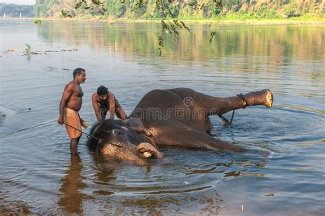 Kerala, India  January, 12 Elephant Bathing At Kodanad