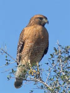 Common Hawks in South Texas