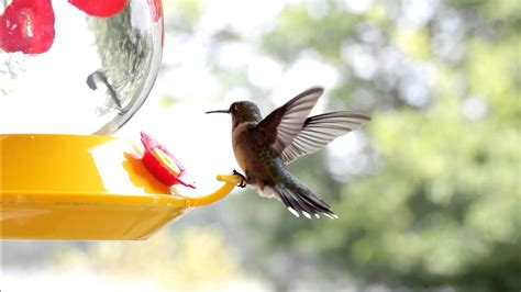 Hummingbird Facts & Some Beautiful Footage - YouTube