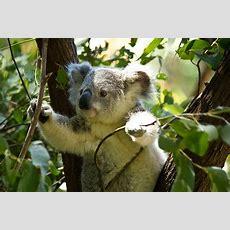 Teaching Old Koalas New Tricks (and Other Interesting Koala Facts) Csiroscope