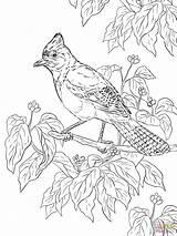 Realistic Coloring Jay Printable Steller Adult Colouring Bird Stellar Birds Nature Drawing Mandalas Supercoloring Animals Scrub Head Games Dot Paper sketch template