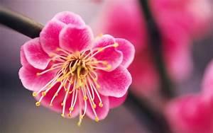 Pink Flowers | Beautiful pink Flower Hd Wallpaper Desktop ...