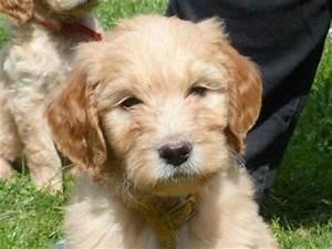 Bodenbelag Für Hunde Geeignet : goldendoodle welpen f r allergiker geeignet westendorf ~ Lizthompson.info Haus und Dekorationen