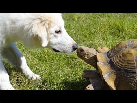 tortoises chasing cats  dogs funny animal compilation