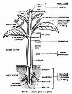 Shoot System Of Plant Body  With Diagram