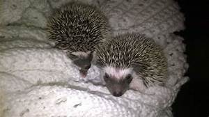 Baby (Pinto) African Pygmy Hedgehogs for sale | Westerham ...