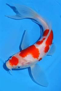 Koi De 9 En Israel : live koi fish 9 10 kohaku butterfly red white long fins koibay koi fish koi koi fish ~ Medecine-chirurgie-esthetiques.com Avis de Voitures
