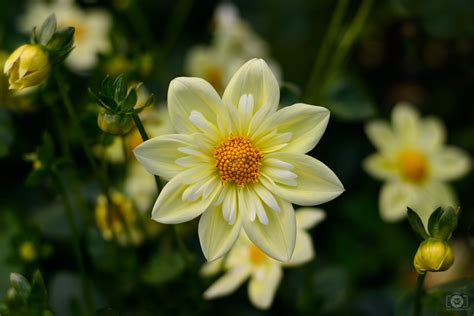 dahlia clair de lune flower background high quality