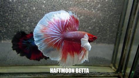 beautiful types  betta fish betta fish names
