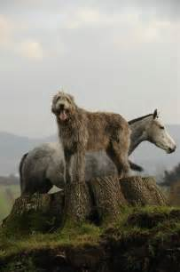Irish Wolfhound
