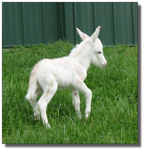 miniature donkeys   elms miniature donkey farm